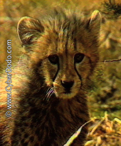 In the wild, cheetah cubs are often the victim of predators
