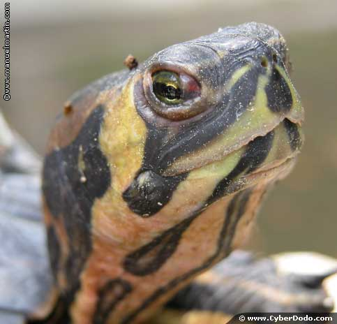 Numerous species of tortoises are threatened with extinction due to human activity