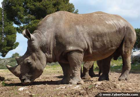 The rhino, an animal in serious danger of extinction