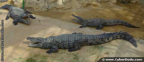 Alligators represent a distinct family of crocodiles