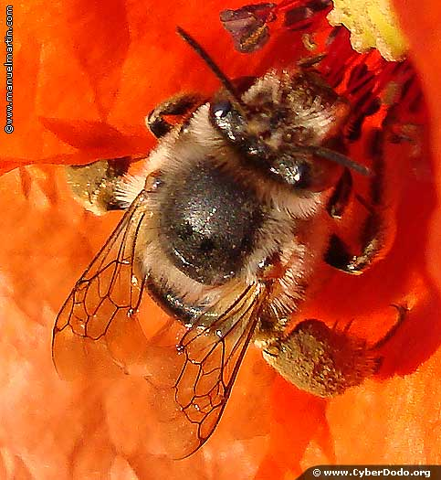 Bees, indispensible for humanity